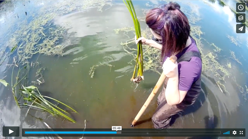 Link to new Hands-On City Jobs Video - woman in a lake planting a bulb plant